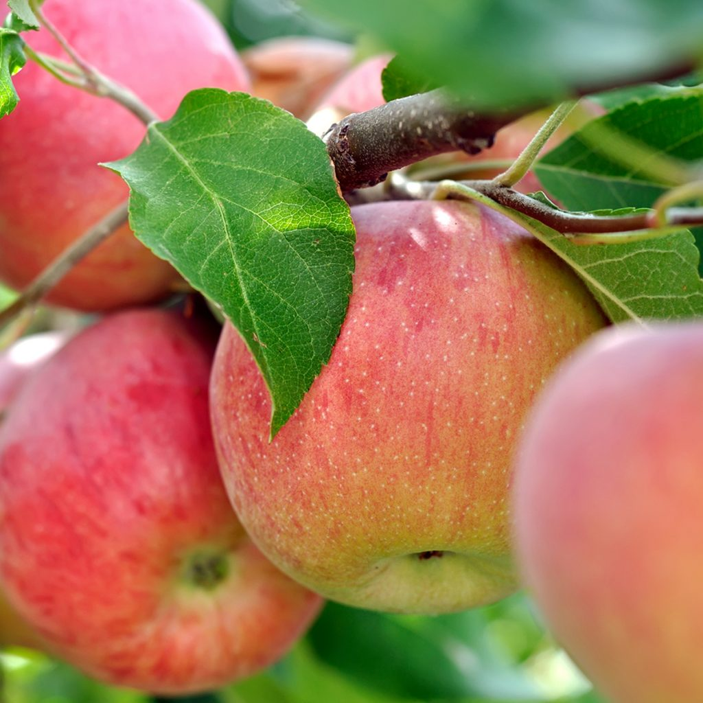 pick your own apples orchard at northhill orchard