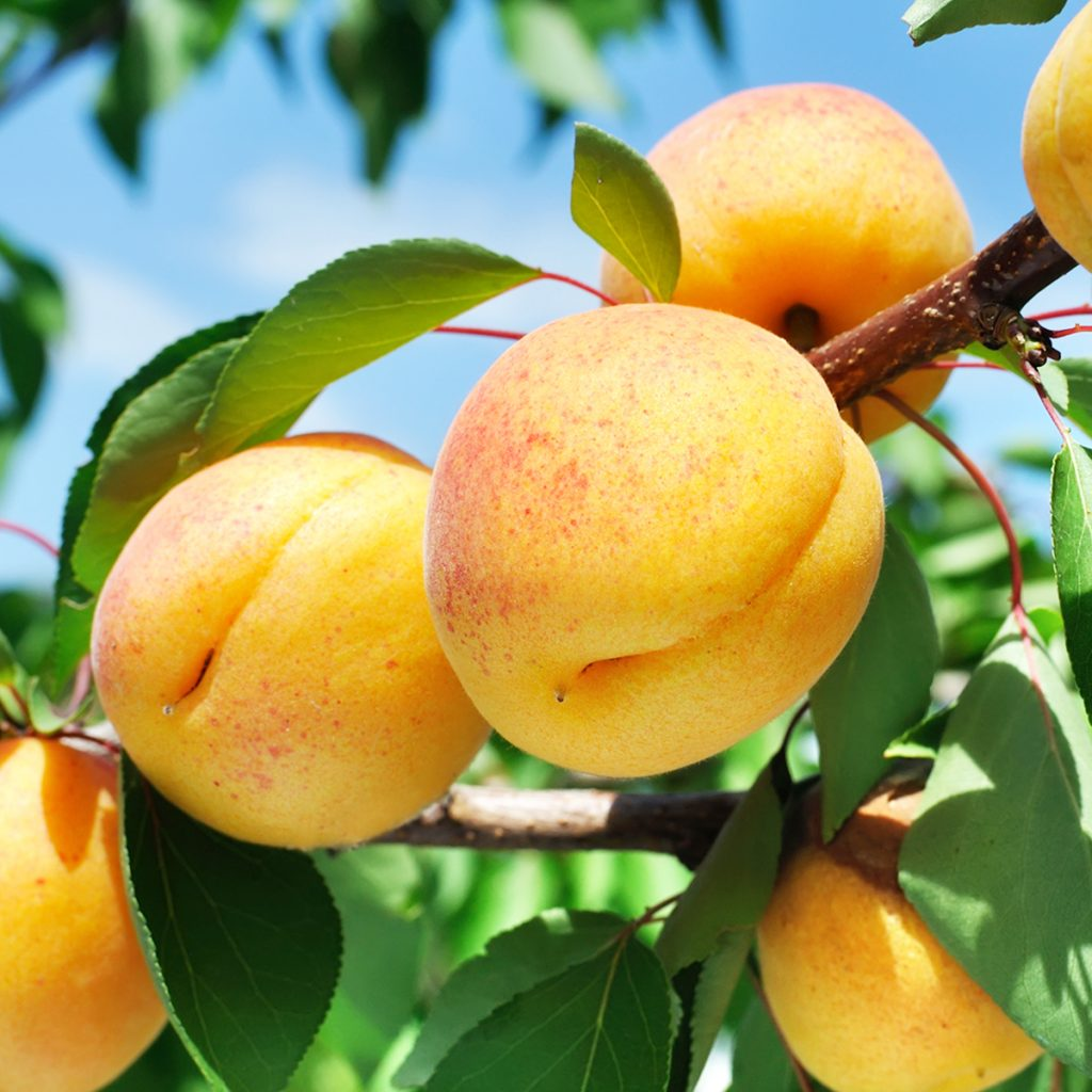 apricot orchard at northhill orchard