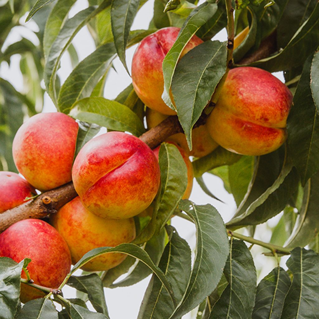nectarine orchard at northhill orchard