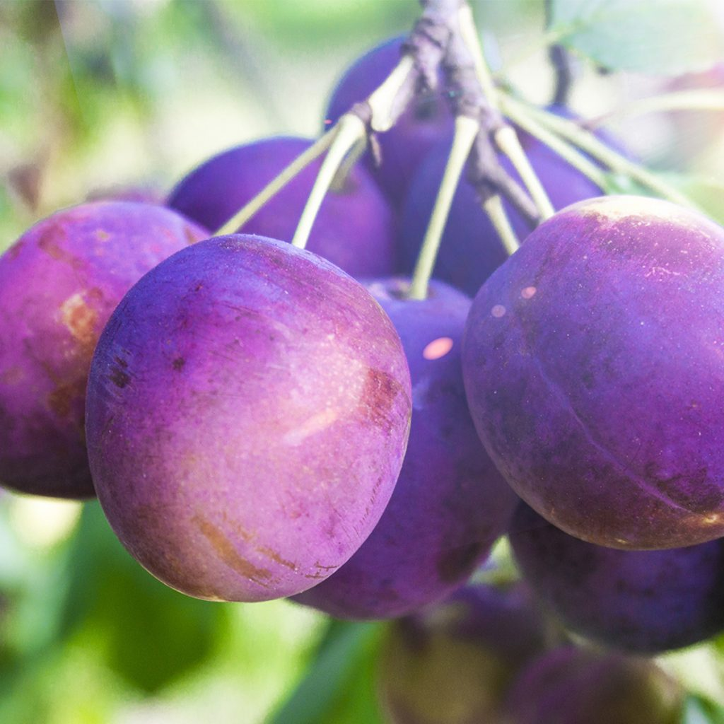 plum orchard at northhill orchard
