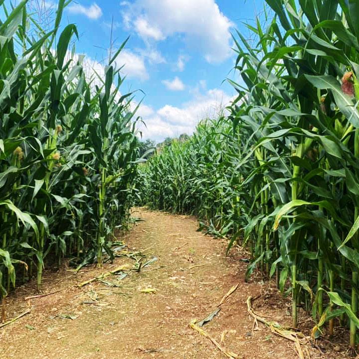 apple orchard corn maze central pennsylvania 2