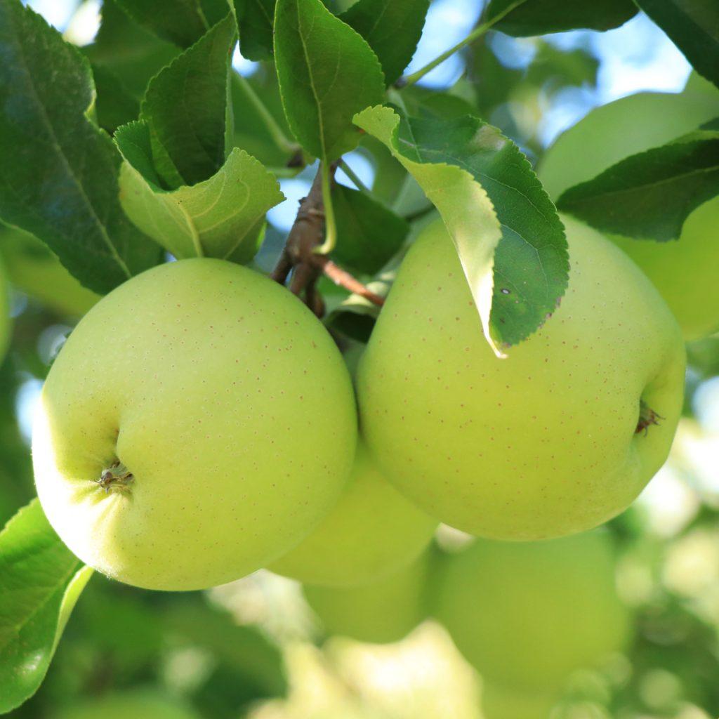 apple picking fresh fruit orchard pa sunbury apple orchard