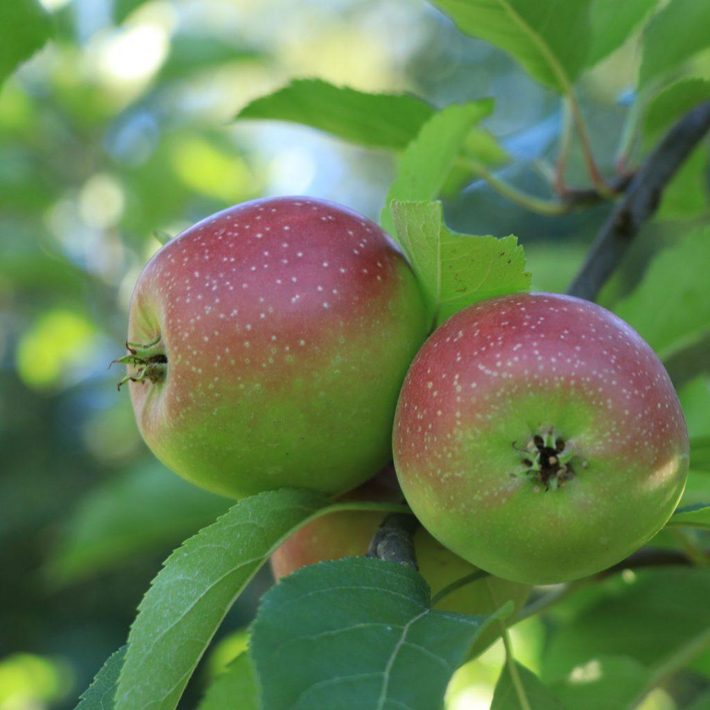 pa apple orchard mifflinburg pa