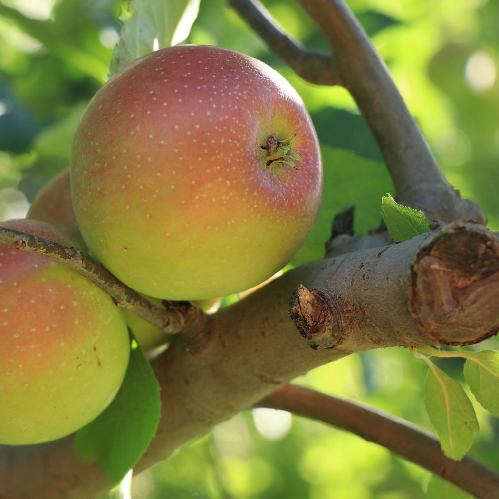 pa apple orchard northhill orchard directions