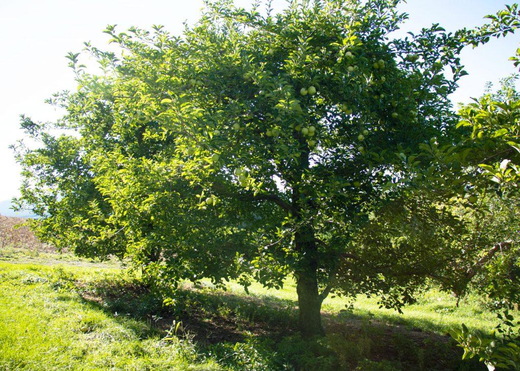apple orchard apple tree in summer