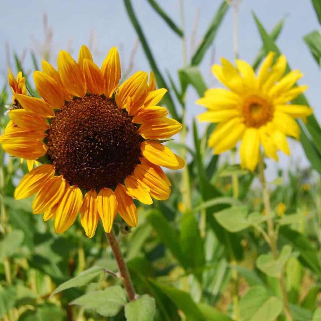 fresh fruit orchard sunflower field photo opportunity