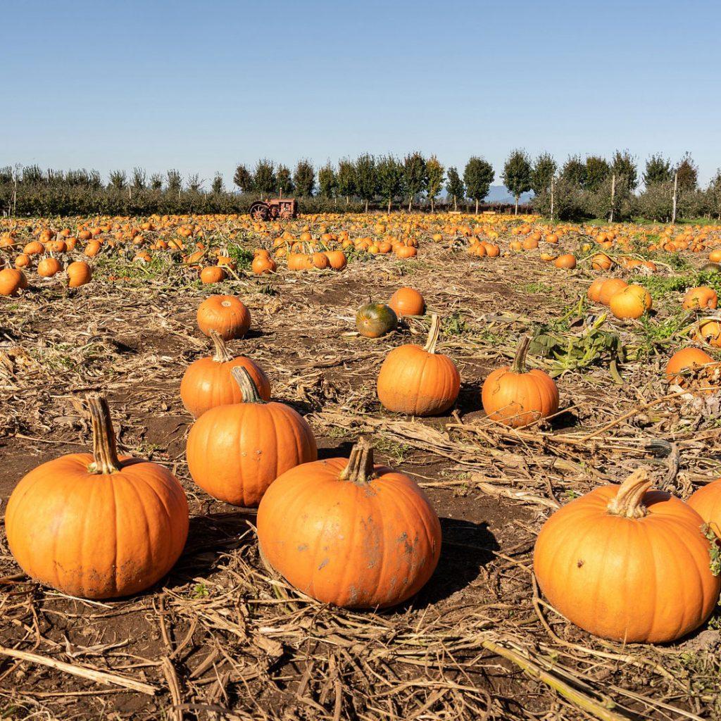 pumpkin patch fresh fruit farm pumpkin picking