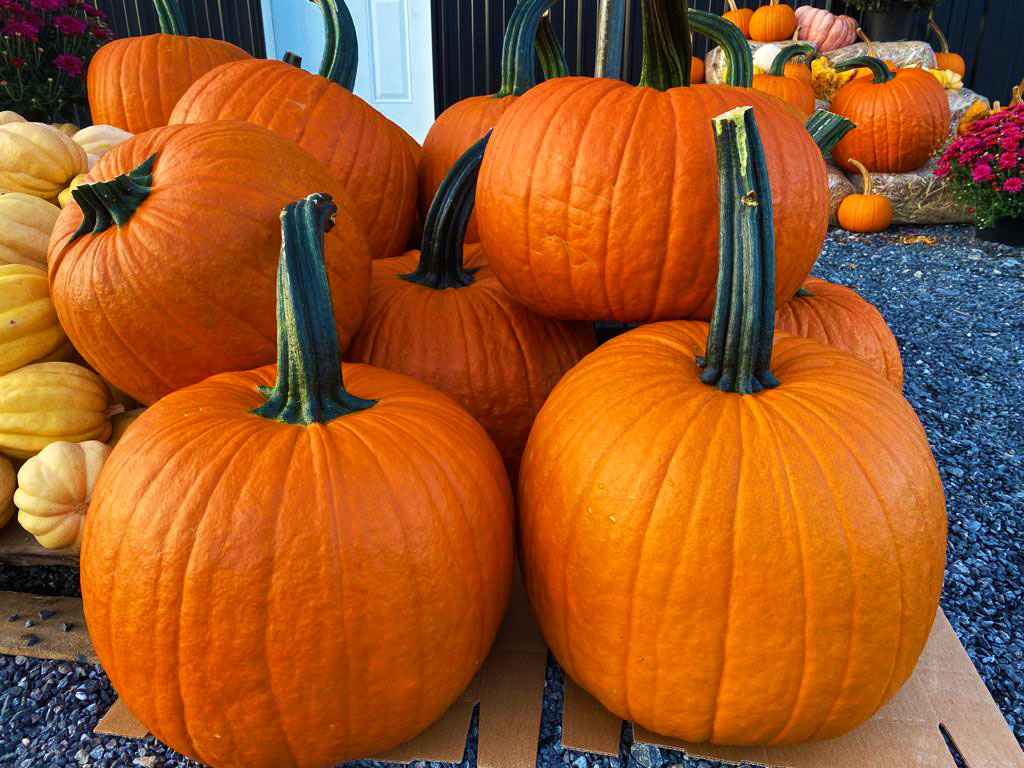 Pumpkin picking in winfield pennsylvania pumpkin farm stand at northhill orchard.